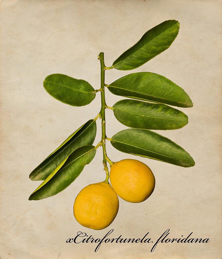 limequad